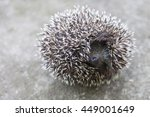 Young Hedgehog Curled Up Into ...