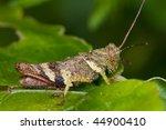 a grasshopper on green leaf | Shutterstock . vector #44900410