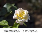 Small photo of Superbly magnificent romantic beautiful yellow tinged pink Peace rose blooming in late autumn adds fragrant charm to the garden attracting bees and butterflies to the sweet pollen.