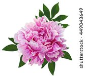 Isolated Flower Peony Pink...