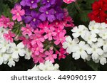 Different Color Garden Verbena...