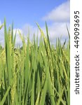 rice paddy in backgrounds sky   Shutterstock . vector #449093695
