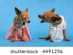 two tiny chihuahuas seemingly in an argument - stock photo