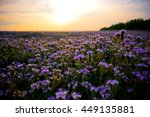 phacelia field at sunset | Shutterstock . vector #449135881