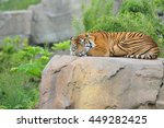 Sumatran Tiger Sleeping On...