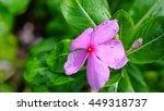 Pink Flower In Garden  West...
