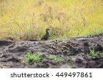Small photo of African crake (Crex egregia) in Queen Elizabeth National Park, Uganda
