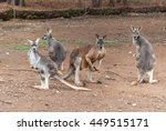 4 Kangaroos In A Sanctuary...