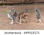 4 Kangaroos In A Sanctuary...