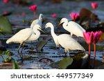 Intermediate Egret  In Thailand.