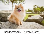 Dog Pomeranian Spitz Smiling...