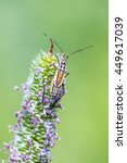 Small photo of Cereal grass bug Leptopterna dolabrata (Miridae Mirinae) on meadow plant