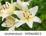 White Lilies With Rain Drops I...