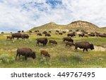 North Dakota Bison Herd