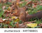 Red Squirrel Eating Hazelnuts.