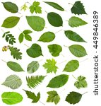 Small photo of set of varuious green leaves isolated on white - hawberry, maple, acer, sambucus, elderberry, birch, fern, fraxinus, ash, oak, acorn, peppermint, honeysuckle, tilia, lime, caragana, acacia, etc