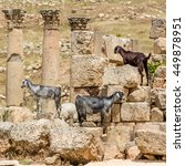 Three Damascus Goats In Jerash...