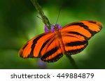 Orange Barred Tiger  Dryadula...