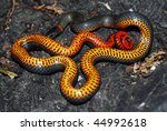 A harmless ringneck snake tries to warn predators with its orange underbelly.