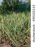 Small photo of Garlic (Allium sativum) on the vegetable patch in the summer garden