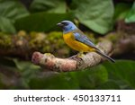 A Male Blue And Yellow Tanager...