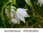 Small photo of Macro shot of an alpine lily of the valley as found in the Austrian alps.