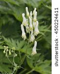Small photo of Yellow Wolfsbane - Aconitum vulparia Poisonous Alpine Flower