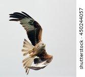 A Red Kite   Bird Of Prey In...