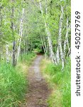 Small photo of Path lined with birch trees in Acadia National Park.