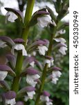 Small photo of Acanthus