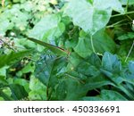 Small photo of Leaf Insect on leaf