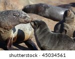 South African Fur Seal Mother...