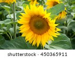 sunflower nature farming... | Shutterstock . vector #450365911
