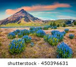 Blooming Lupine Flowers Near...