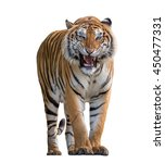 Tiger Roaring Isolated On Whit...