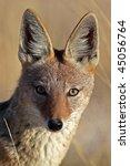 Black-backed jackal close-up, Etosha National Park, Namibia, Southern Africa - stock photo
