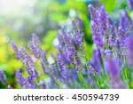 blooming lavender bush in a... | Shutterstock . vector #450594739