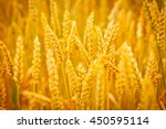 Grain Field.backdrop Of...