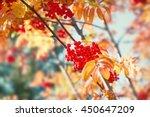 Autumn Rowan Tree With Red...