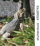 iguana in the wild forest   Shutterstock . vector #45068743