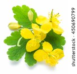 Greater Celandine Flower ...