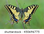 The Papilio Machaon   Perfect...