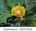 Bud and yellow cactus flower in the grass on the lawn - stock photo