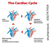 heart cycle. cardiac cycle of... | Shutterstock .eps vector #450797959