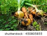 Freshly Dug Onion Bulbs And...
