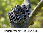 Tailed Lemur  Lemur Catta ...