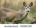 roe dear | Shutterstock . vector #45085198