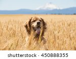 Golden Retriever Dog In Wheat...