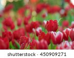 red tulip | Shutterstock . vector #450909271