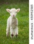 Cute Spring Lamb